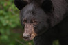 MBB-10241: Bear portrait