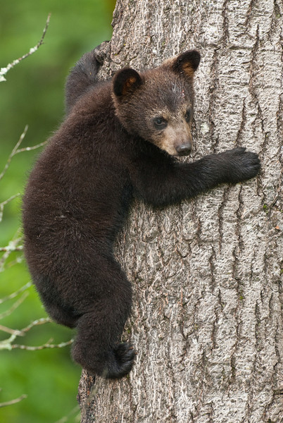 MBB-10227: Spring cub clinging to tree