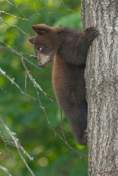 MBB-9120: Black bear cub-<i>Before continuing down the tree, this little cub was checking to be sure it was safe.</i>