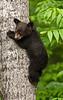 MBB-10250: Spring Black bear cub