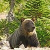 Grizzly, Glacier National Park