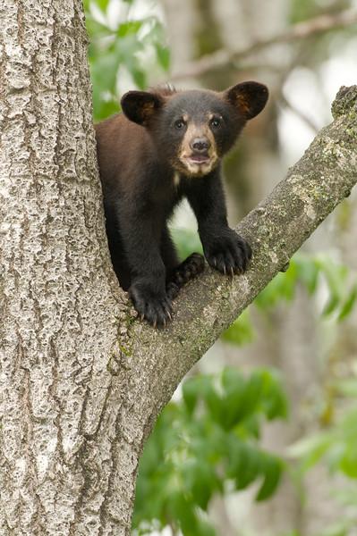 MBB-8070: Bawling cub