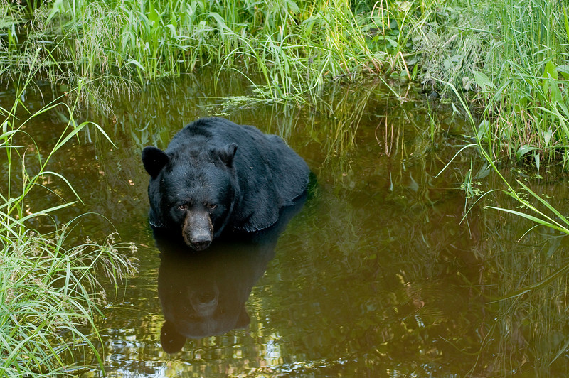 <b>MBB-9233:Summer Cool Down-</b><i>The low sun angle put this little stream in shade allowing reducing contrast to allow me to use my wide angle lens to not only capture the black bear but also the reflections and green foilage.</i>