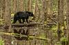 MBB-13-73: Swamp Bear