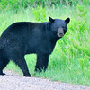 Black Bear, Crex Meadows Wildlife Area, Grantsburg, Wisconsin