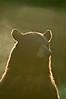 MBB-8179: Rim lighting on black bear