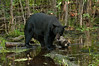 MBB-10309: Black bear in swamp