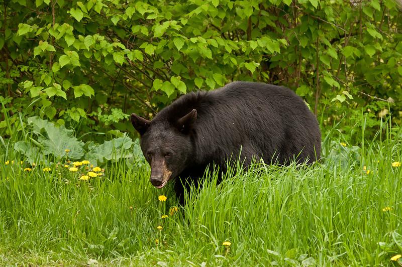 MBB-11001: Black bear walking through dandelions