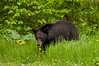 MBB-11001: Black bear walking through dandelions