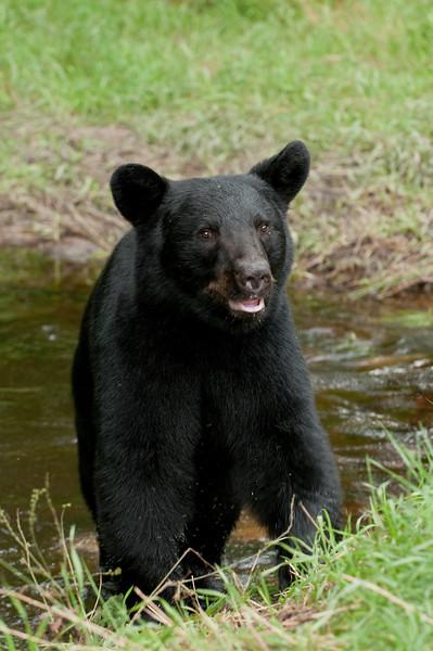 MBB-10229: Bear exiting creek