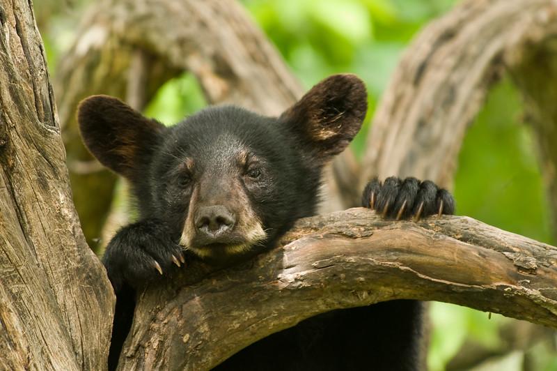 MBB-8122: Black bear cub