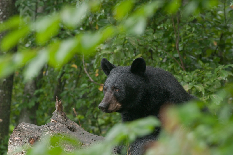 MBB-9283: Black bear in woods