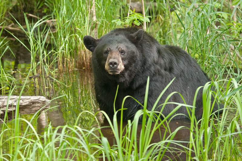 MBB-12057: Black bear soaking in the marsh