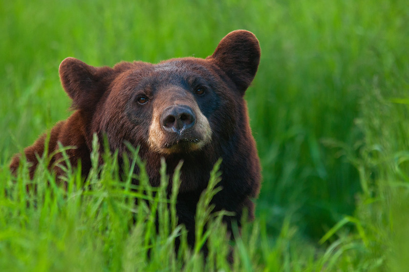 MBB-11142: Brown Bear sow in tall grasses