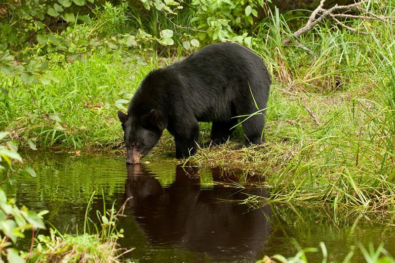MBB-10220: Thirsty Black bear