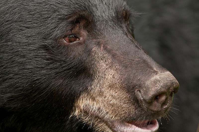 MBB-10252: Bear stare