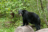 MBB-10256: Bear checking out territory