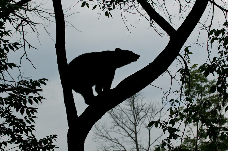 MBB-9280: Black bear silhouette-In the Northwoods of Minnesota not often a photographer gets the opportunity to get a Black bear silhouette!<br /> (Cloned out stick under bears belly and rear end)