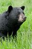 MBB-12219: Alert Boar