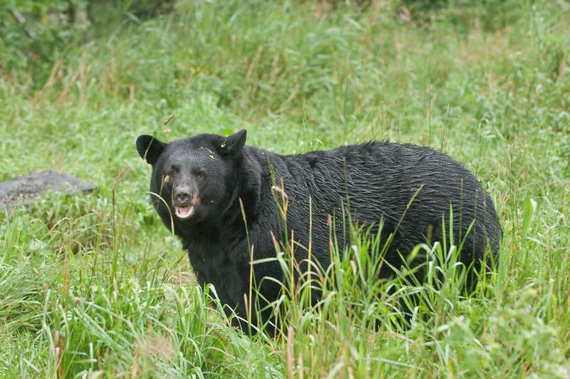 MBB-9318: Rainy day Black Bear
