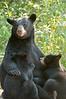 MBB-11164: Nursing cubs