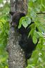 MBB-11103: Spring cub in Aspen tree