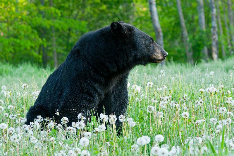 MBB-11041: Black bear in dandelion seeds