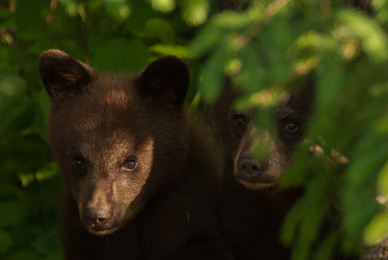 MBB-11150: Peek-a-boo cubs