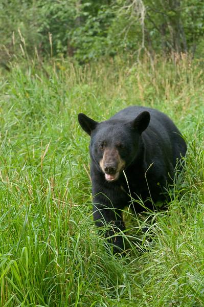 MBB-8287: Black Bear