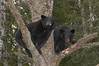 MBB-5194: Yearling cubs