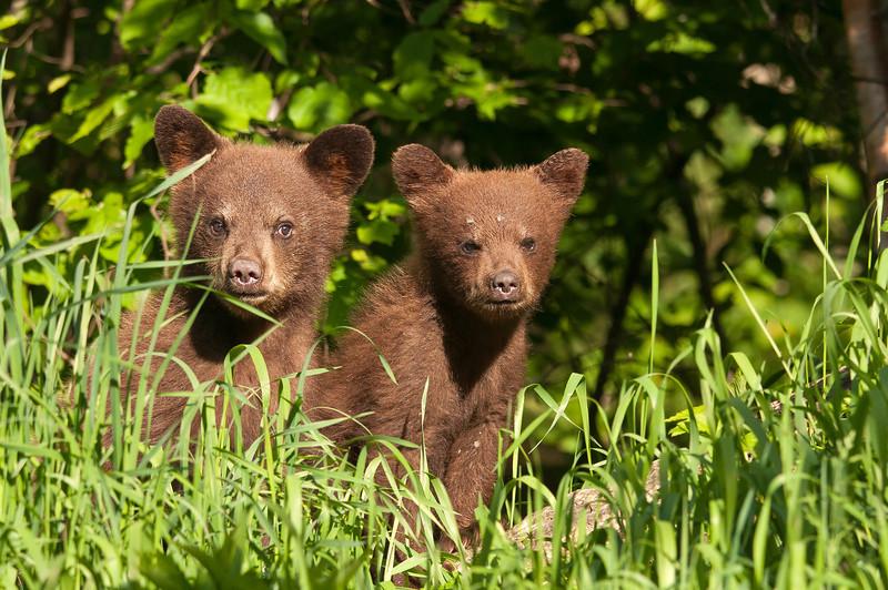 MBB-12015: Twin cubs