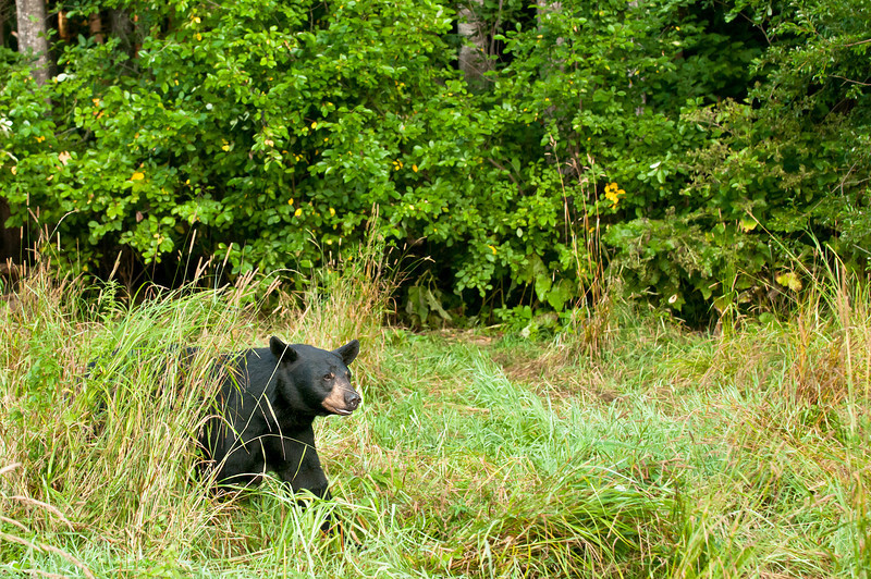 MBB-11209: Black Bear in meadow grasses