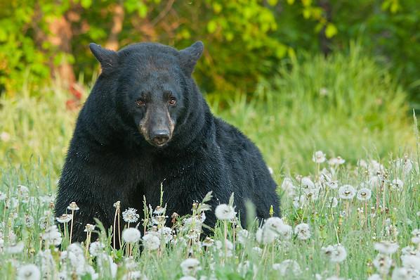 MBB-11051: Spring Black Bear in Northern Minnesota