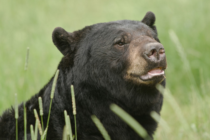 MBB-8097: Male Black Bear