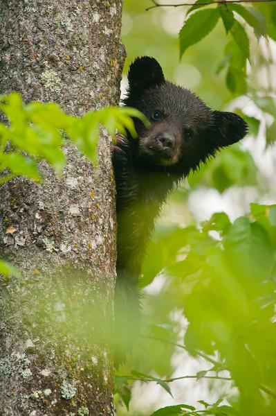 MBB-11105: Cub peeking through the leaves