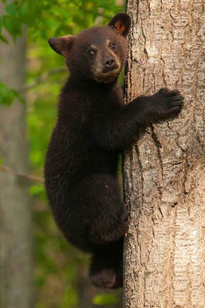 MBB-11139: Spring cub in tree