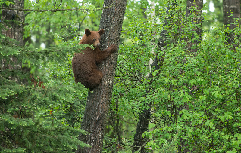 Yearling cub up a tree