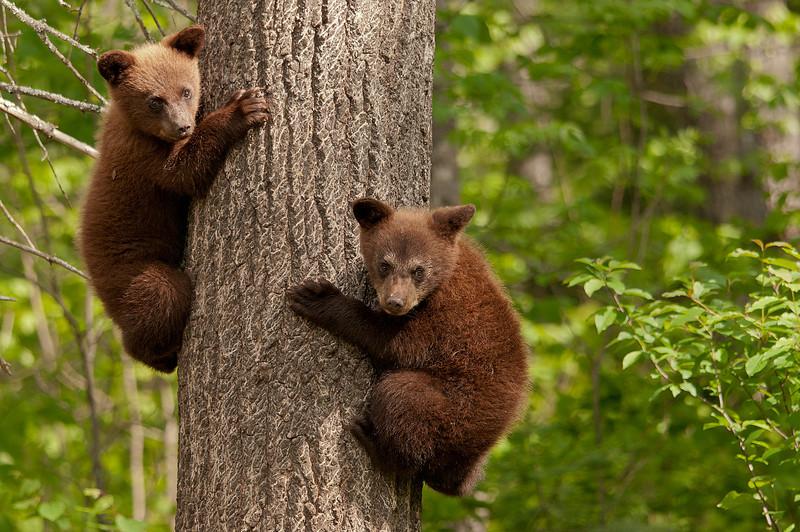 MBB-11027: Brown phase black bear cubs
