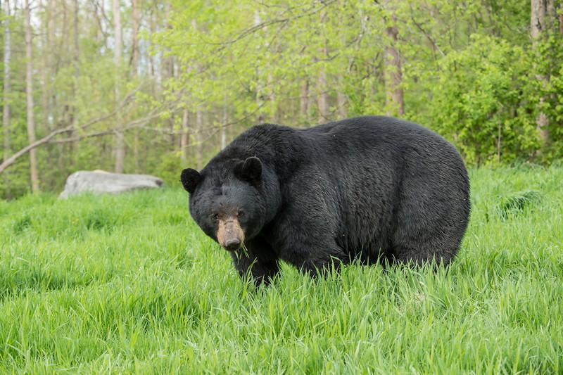 MBB-13-163: Large male Black Bear in open meadow