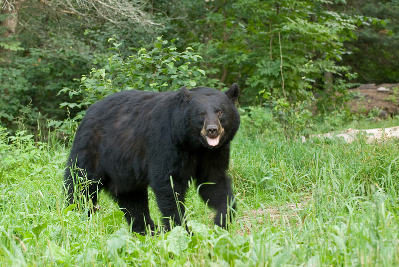 MBB-7130-Male Black bear entering meadow