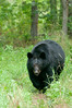 MBB-11214: Mature Male Black Bear