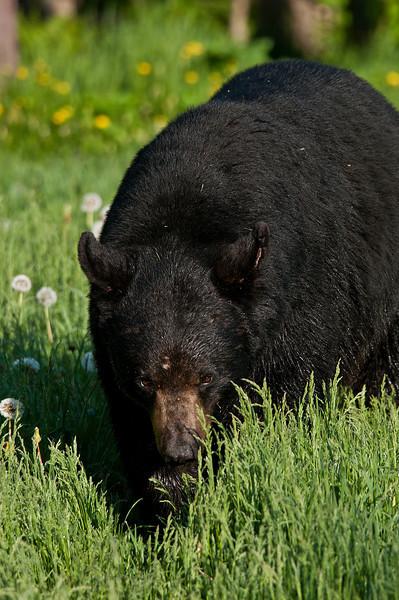MBB-11091: Spring adult Black Bear
