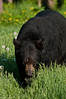 MBB-11091: Spring adult Black Bear