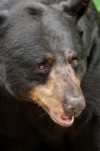 MBB-9270: Black bear profile