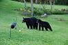 Bears go on alert when my neighbor, Tom, enters his back yard