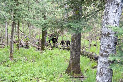 Black Bears of Minnesota