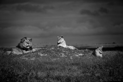 The King and His Court - Duba Plains, Botswana