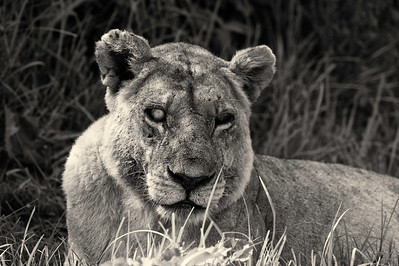 Silver Eye - Duba Plains