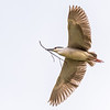 Black Crowned Night Heron 13 Apr 2018-7168