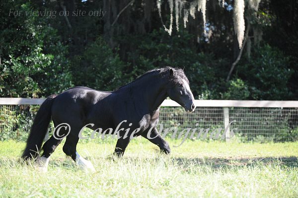 Black Gypsy vanner 2014